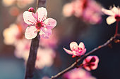 Cherry flowers blossom in spring
