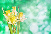 Beautiful  Narcissus on a green background