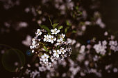 Cherry blossom in light reflects. Copy space