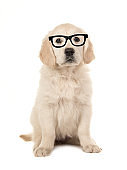 Cute blond golden retriever puppy wearing black glasses isolated on a white background