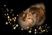 Shetland sheepdog looking up on a black background with star shaped lights