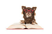 Cute chihuahua dog lying on a red book wearing red glasses isolated on a white background