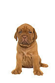 Cute dogue de Bordeaux puppy sitting isolated on a white background