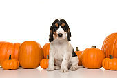 Cute basset hound puppy sitting between a row of orange pumpkins on a white background looking at the camera