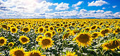 Field with blooming sunflowers. Aerial view. Outdoor.