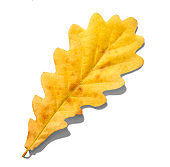 Autumn oak leaf isolated on white background with shadows, clipping path  for isolation without shadows on white