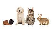 Group of four common pets, guinea pig, rabbit, tabby cat, golden retriever puppy, isolated on a white background