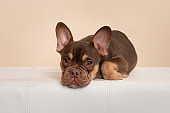 Adorable french bulldog puppy lying down looking at the camera on a cream colored background