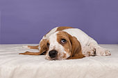 Cute basset hound puppy lying down looking up on a purple background