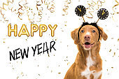 Portrait of a pretty nova scotia duck tolling retriever dog wearing a new year diadem on a white background with golden party garlands and text happy new year 2021