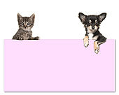 Cute chihuahua dog and a tabby baby cat holding a pink paper board with room for text on a white background