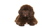 Cute brown Newfoundland dog puppy lying down looking at the camera  isolated on a white background
