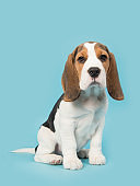 Cute beagle puppy dog sitting on a blue background facing the camera seen from the side