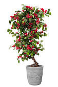 Topiary of red flower tree plant on the cray stone pot container isolated on white background for formal European style garden