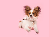 Lying down cute papillon dog on a pink background