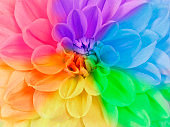 Close up full frame of a blooming chrysanthemum flower in different rainbow colors