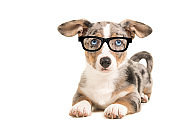 Cute blue merle welsh corgi puppy wearing black glasses lying down isolated on a white background