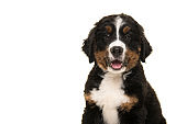 Portrait of a cute bernese mountain dog puppy looking at the camera with mouth open isolated on a white background