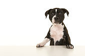 Cute black and white stafford terrier puppy looking up standig on a white background