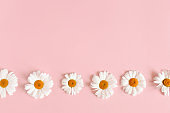 Border frame made of white chamomile flowers on a pink pastel background