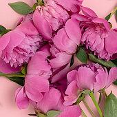 Pink floral texture. Closeup of peony.