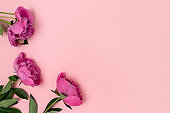Composition with peony flowers on a pink pastel background.