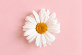Chamomile on a pink pastel background