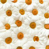 Texture made of white chamomile flowers