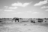 Elephant feeding close to water pole during strong drought in Africa. Endangered species