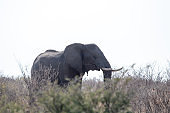 Elephant feeding in Botswana, Africa during strong drought