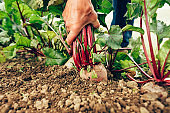 Harvesting beetroot in vegetable garden