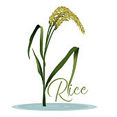 Realistic Detailed 3d Rice Grain Plant. Vector