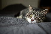 Cute aged cat lying on bed at home