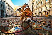 Active dog walking sniffing pavement between ancient buildings in city
