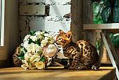 Bengal kitten smelling bouquet of flowers by window