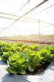 Fresh sapling of green​ oak or red oak romaine lettuce organic farm in plantation, produce and cultivation agriculture and harvest green leaves in the field, vegetable and healthy food concept.