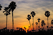 Silhouette coconut palm tree at sunset. nature outdoor photography. wallpaper of nature.