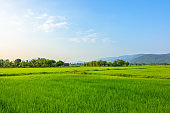Agriculture green rice field under blue sky and mountain back at contryside. farm, growth and agriculture concept.