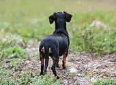 black and tan Dachshund