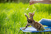 Domestic Cat Playing With Dandelion in on a Meadow With Pet Owner - Stock Photo