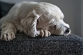Tired Shi Tzu Dog Napping on Sofa - Stock Photo