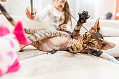 Playful Devon Rex Cat Enjoying Playing on Sofa with his Little Owner - stock photo