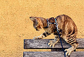 Devon Rex Cat on a Leash on Top of Wooden Bench Playing and Exploring Public Park - Stock Photo