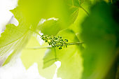 Beginning of White Grape Growth in Springtime