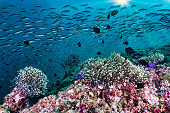 Bait ball of tropical fish swimming above coral reef