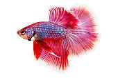 Betta fish, siamese fighting fish, betta splendens isolated on white background