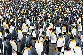 Crowded King Penguin Colony South Georgia Antarctica