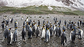 Antarctica King Penguins in the Wild Panorama South Georgia