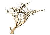 3D illustration acacia tree on white