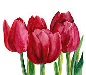 Watercolor illustration of pink tulips